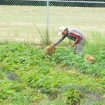 2011 Haliburton Farmer Nate Putting Straw on Potatoes July20