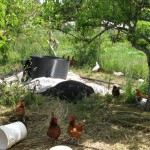 Haliburton Farm Chickens