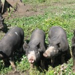 Berkshire pigs