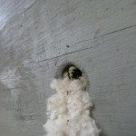 Bombus vosnesenski