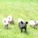 Terra Nossa piglets