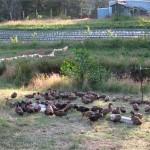 Sweet Earth Farms ducks