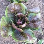 Sweet Earth Farms Radicchio