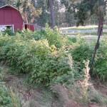 Sweet Earth Farms Raspberries