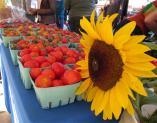 2012August25HaliburtonSunflower+Tomatoes.jpg
